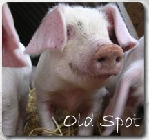 Old Spot Pigs